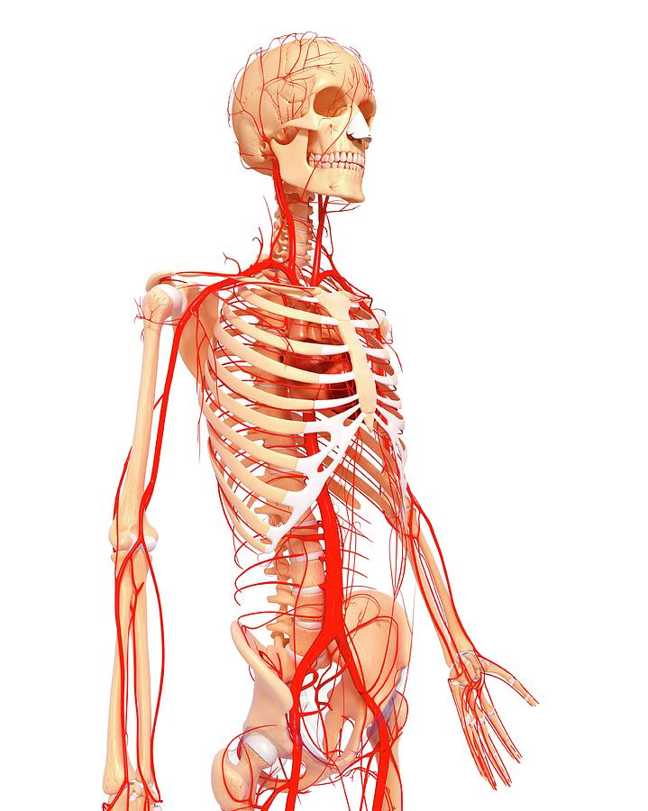 Artwork Photograph - Human Arteries by Pixologicstudio/science Photo Library