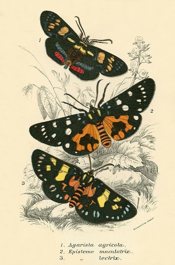Insect Painting - Butterflies by English School