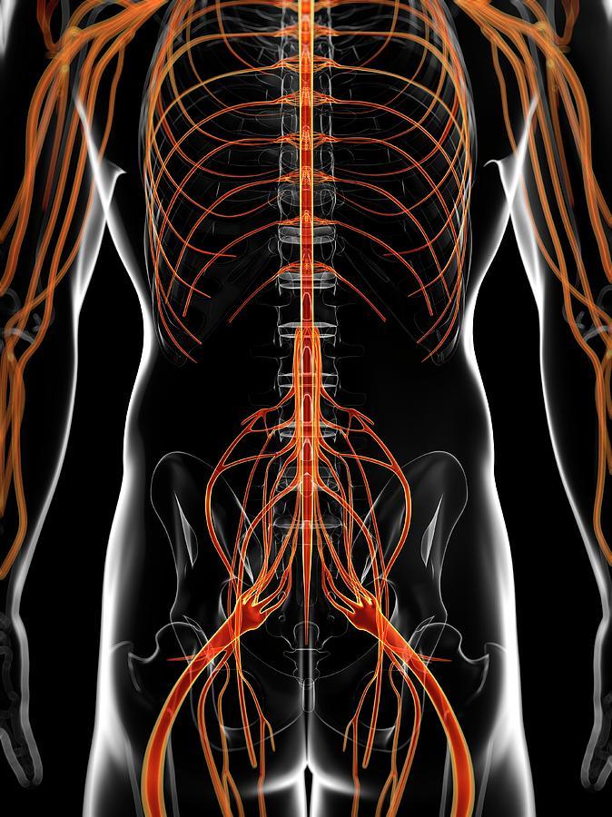 Artwork Photograph - Human Nervous System by Sebastian Kaulitzki