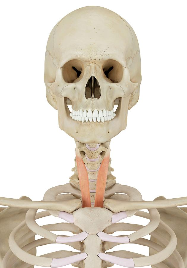 Artwork Photograph - Human Neck Muscles by Sciepro