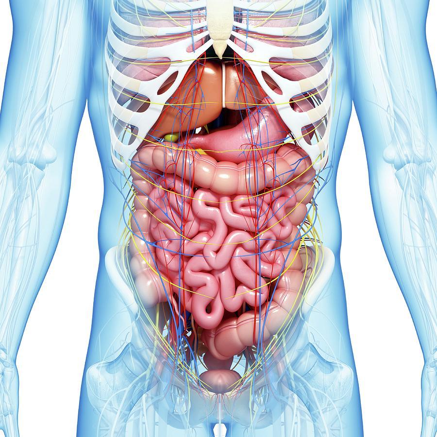 Abdominal Anatomy Photograph By Pixologicstudio  Science