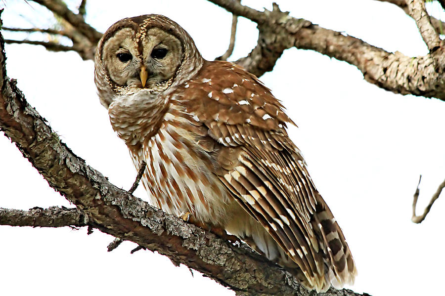 Alert Photograph - Barred Owl by Ira Runyan