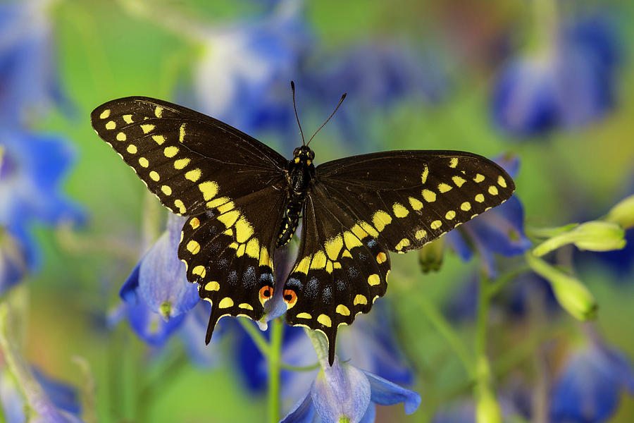 Black Photograph - Black Swallowtail Butterfly, Papilio by Darrell Gulin