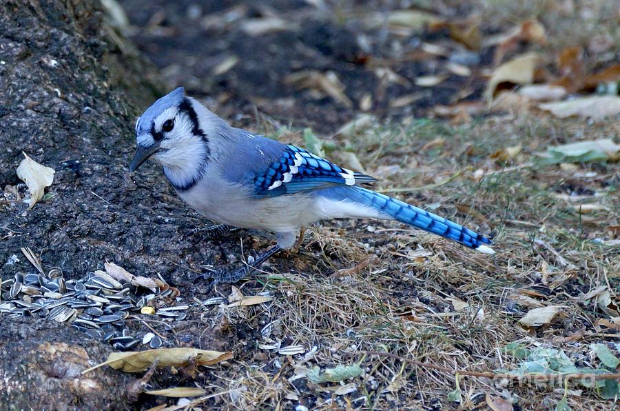 Birds Photograph - Blue Jay by Lori Tordsen