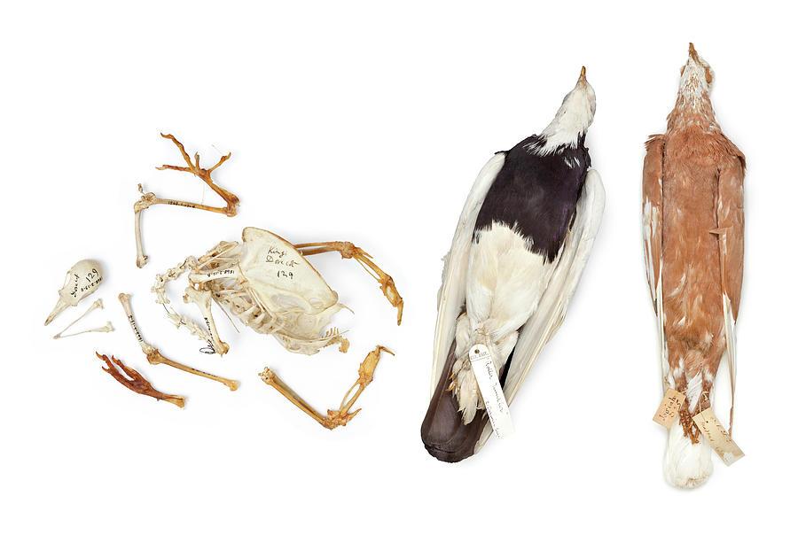 Anatomy Photograph - Charles Darwins Pigeons by Natural History Museum, London