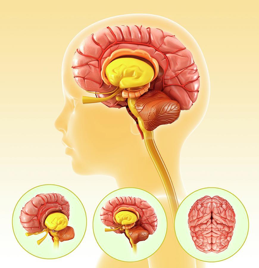 Artwork Photograph - Childs Brain Anatomy by Pixologicstudio/science Photo Library