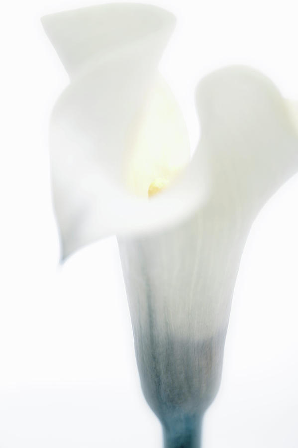 Vertical Photograph - Close-up Of A Calla Lily Flower by Panoramic Images