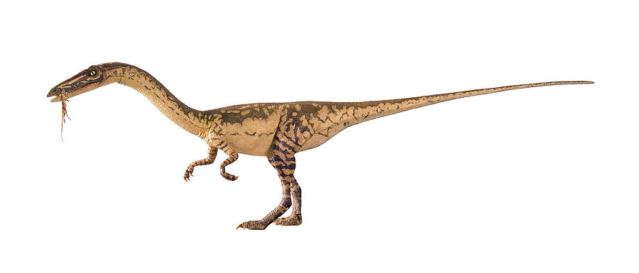 White Background Photograph - Coelophysis Dinosaur Model by Natural History Museum, London/science Photo Library