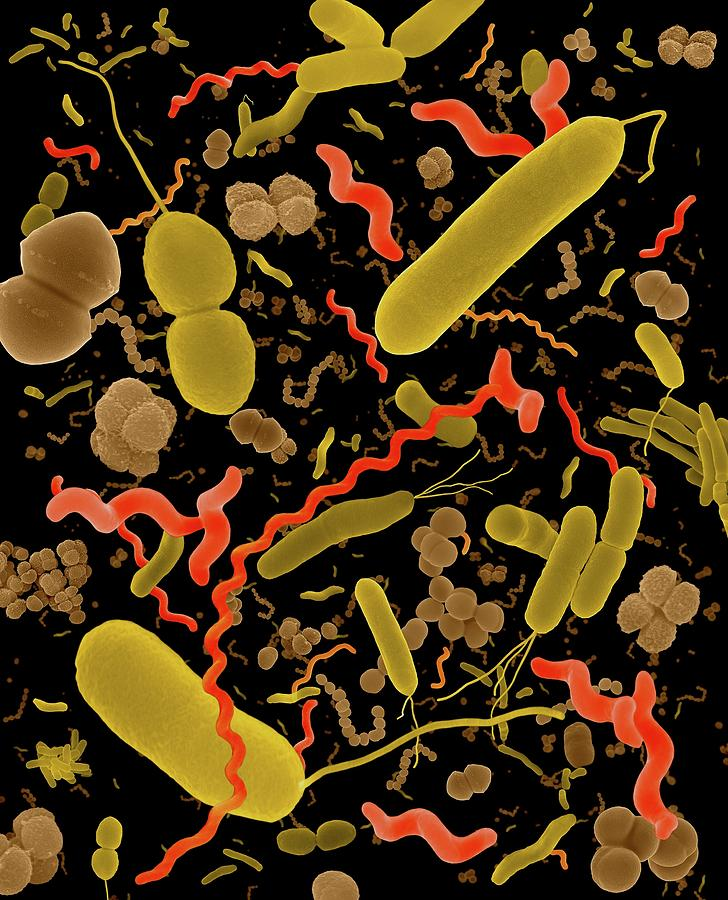 Dividing Photograph - Common Types Of Bacteria by Dennis Kunkel Microscopy/science Photo Library