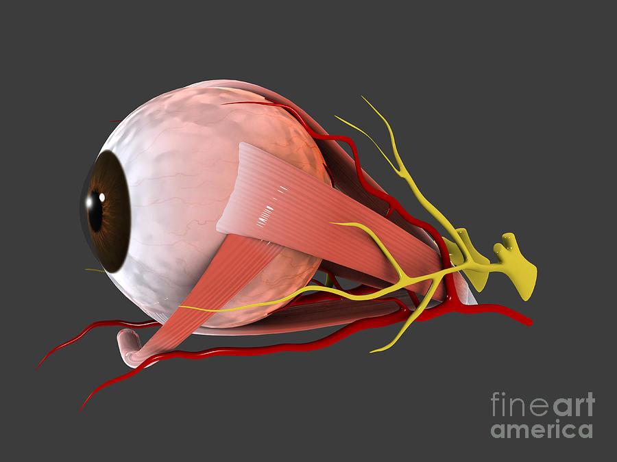 Conceptual Image Of Human Eye Anatomy Digital Art By Stocktrek Images