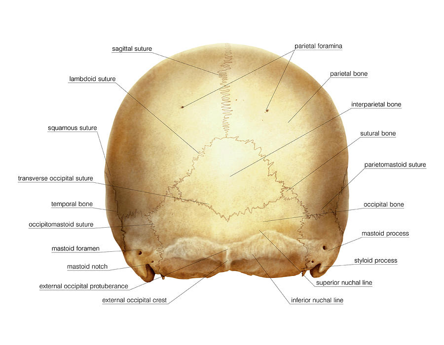 Anatomy Photograph - Cranium by Asklepios Medical Atlas