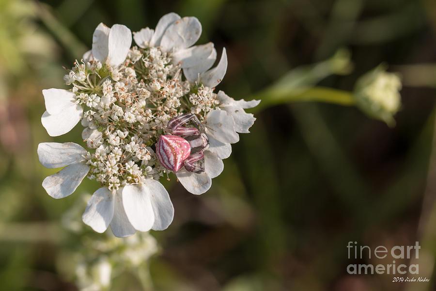 Flower Crab Spider Photograph