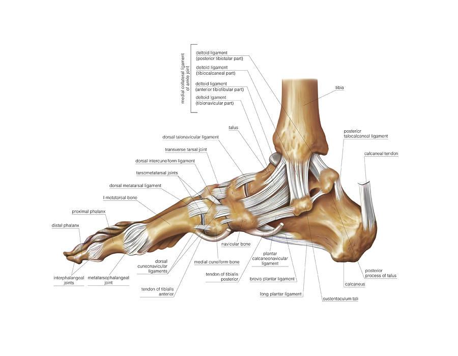 Foot Joints Photograph By Asklepios Medical Atlas