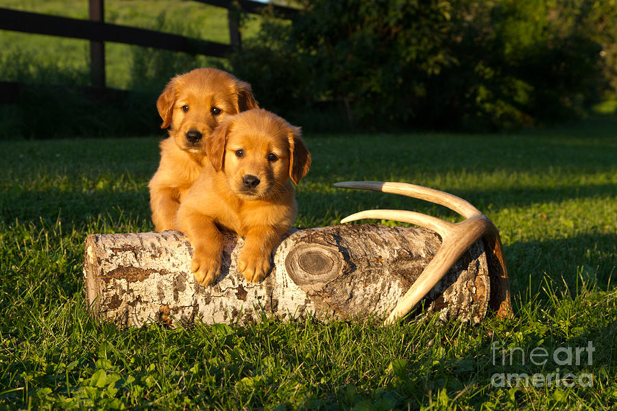 Nature Photograph - Golden Retriever Puppies by Linda Freshwaters Arndt