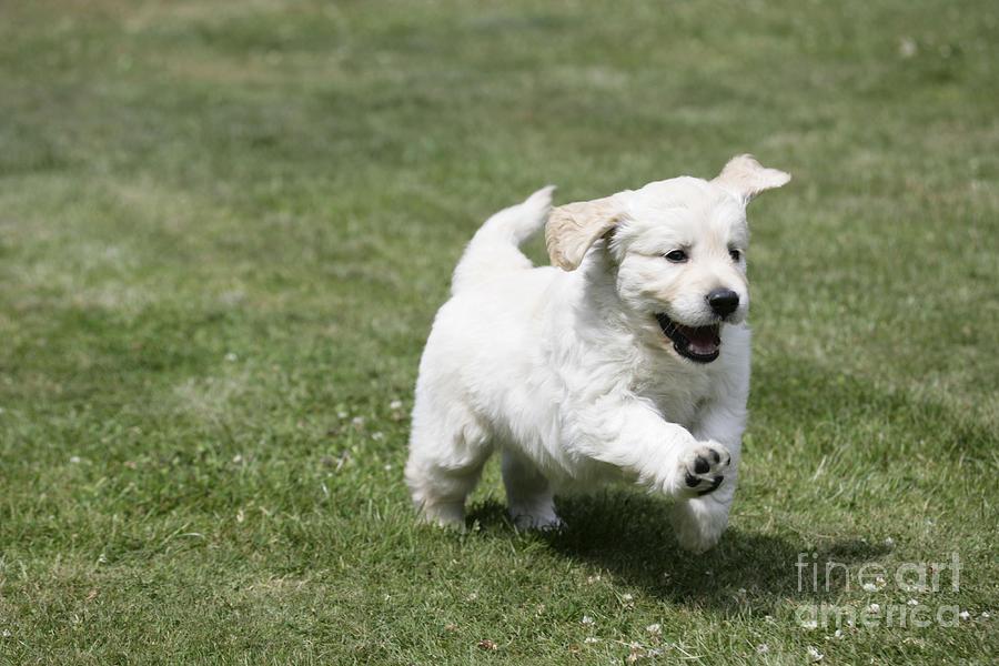 Golden Retriever Photograph - Golden Retriever Puppy by John Daniels