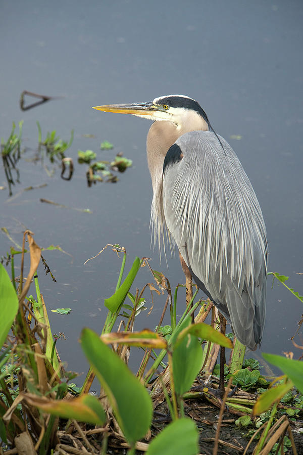 Great Blue Heron Photograph by Mark Newman