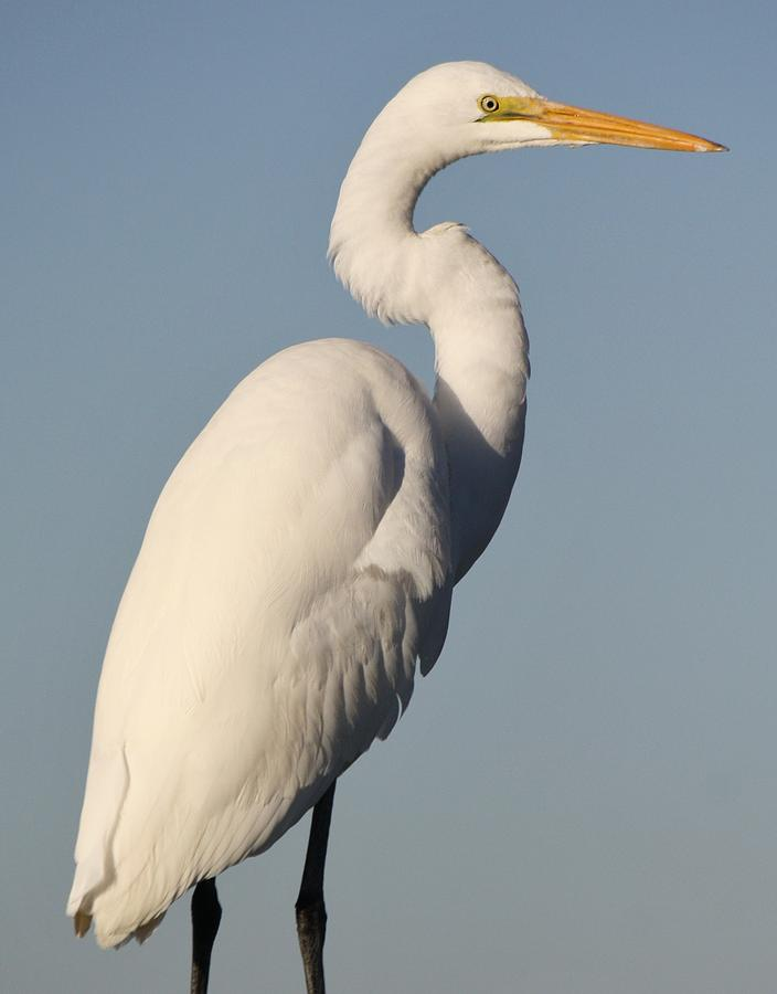 Great White Egret Photograph - Great White Egret by Paulette Thomas
