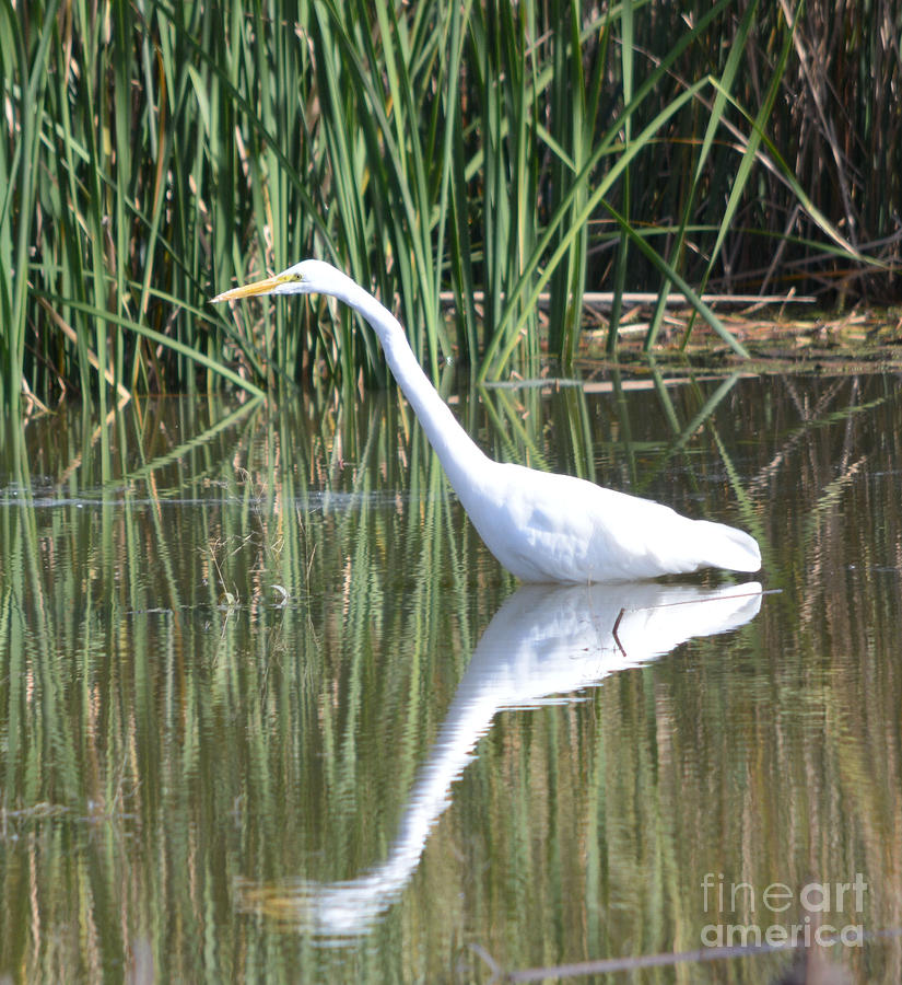 Great White Egret Photograph by Ruth  Housley