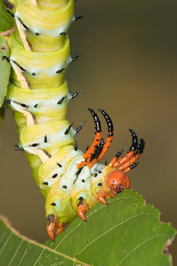 Hickory Horned Devil Photograph By Jeffrey Lepore
