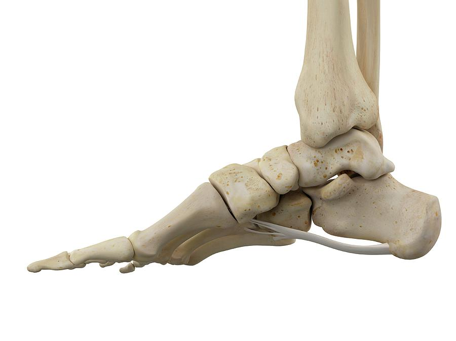 Human Foot Ligaments Photograph By Sciepro