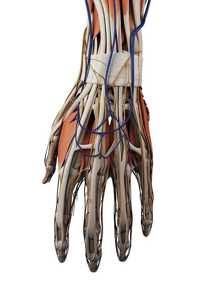 Human Hand Muscles Photograph By Sciepro