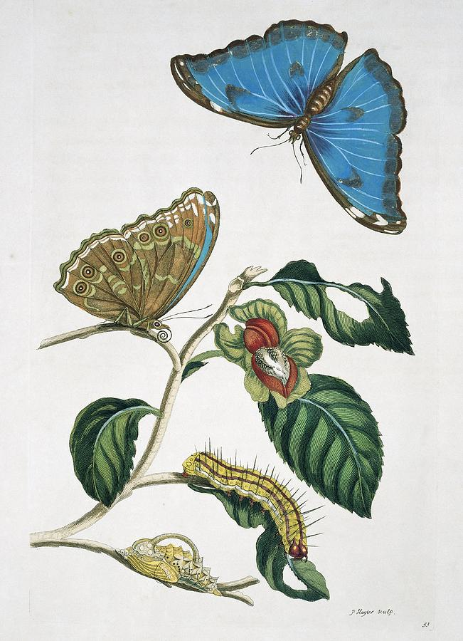 Blue Morpho Photograph - Insects Of Surinam, 18th Century by Science Photo Library