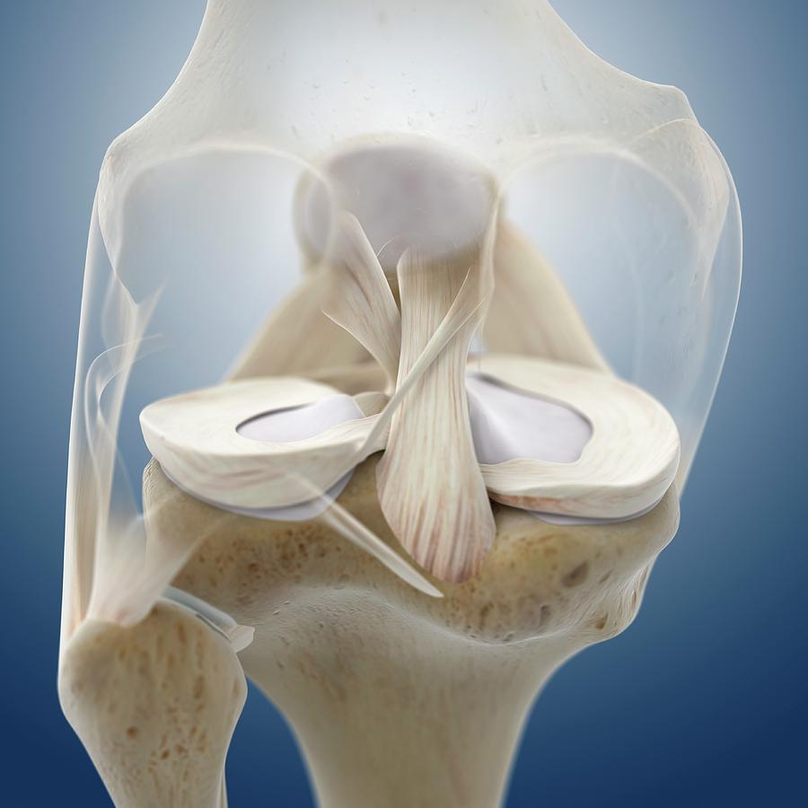 Bone Photograph - Knee Anatomy by Springer Medizin/science Photo Library