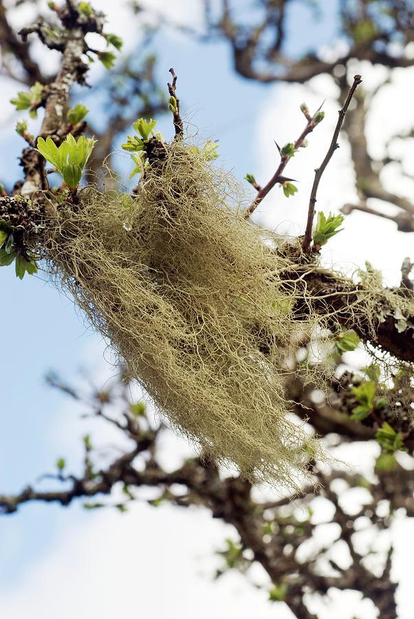 Lichen Photograph - Lichen by David Aubrey