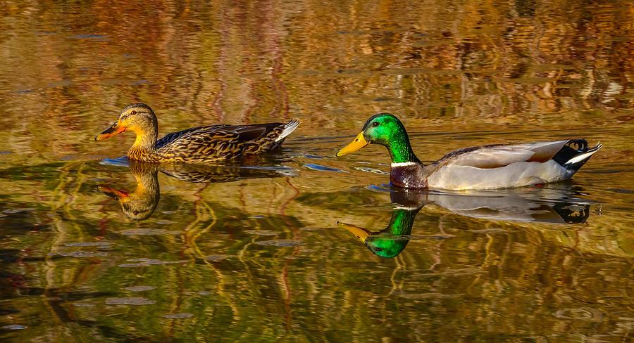 Mallard Ducks Photograph by Brian Stevens