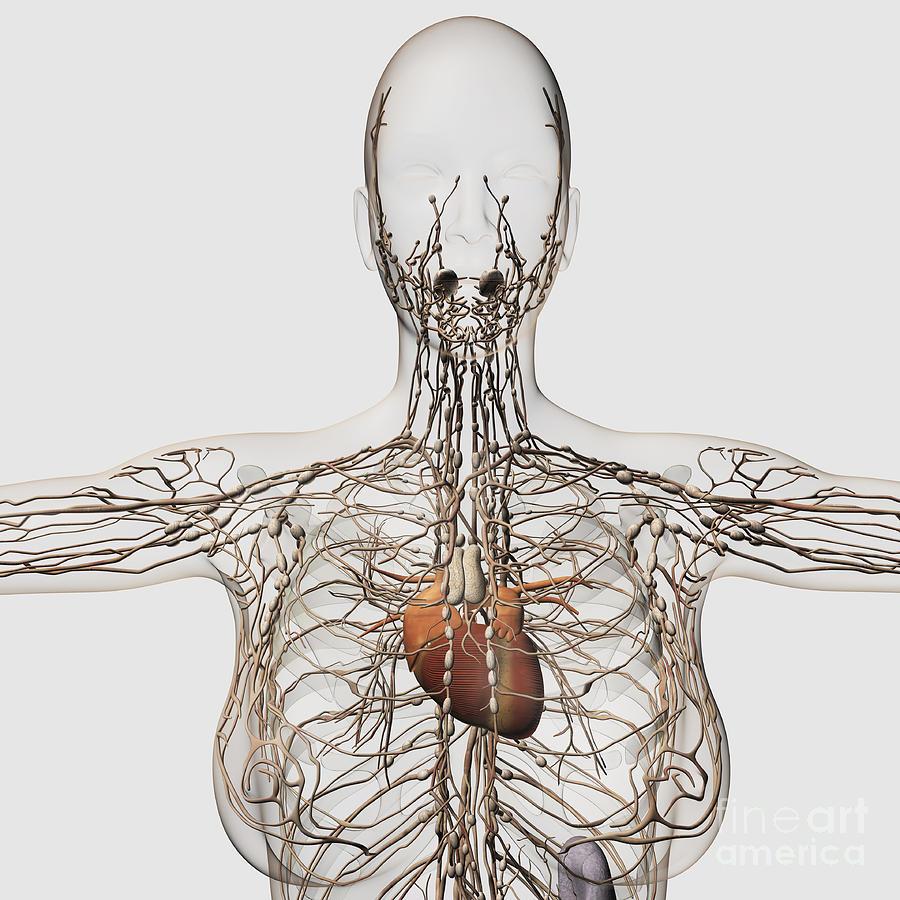 Biomedical Illustration Digital Art - Medical Illustration Of Female by Stocktrek Images