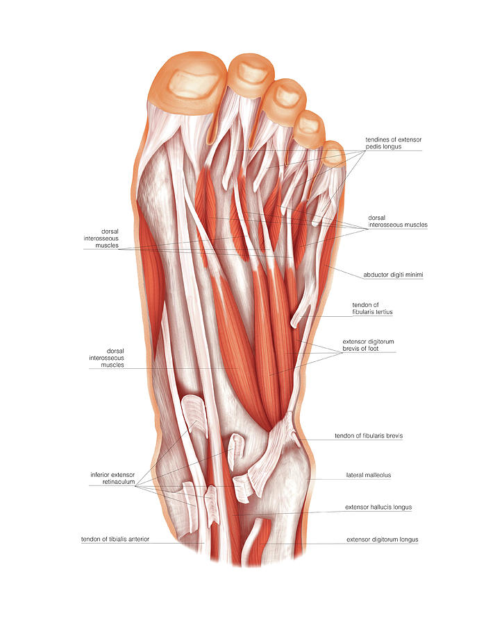 Muscles Of The Foot Photograph By Asklepios Medical Atlas