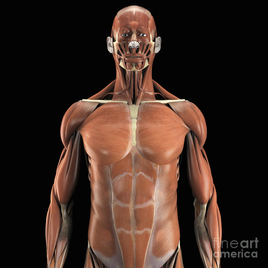 Muscles Of The Upper Body Photograph By Science Picture Co