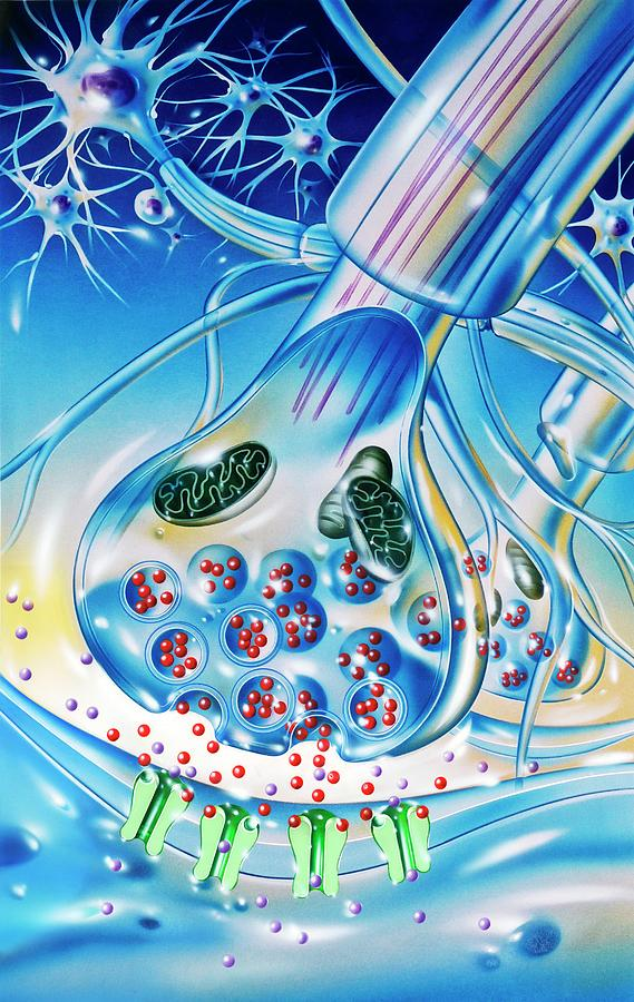 Neuron Photograph - Nerve Synapse by John Bavosi