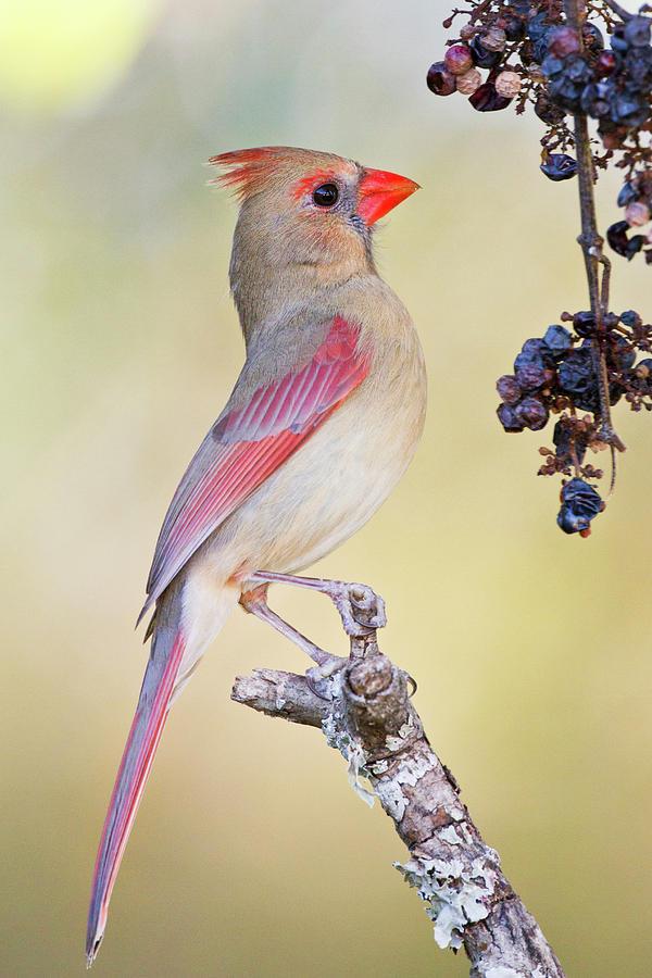 Adult Photograph - Northern Cardinal (cardinalis Cardinalis by Larry Ditto