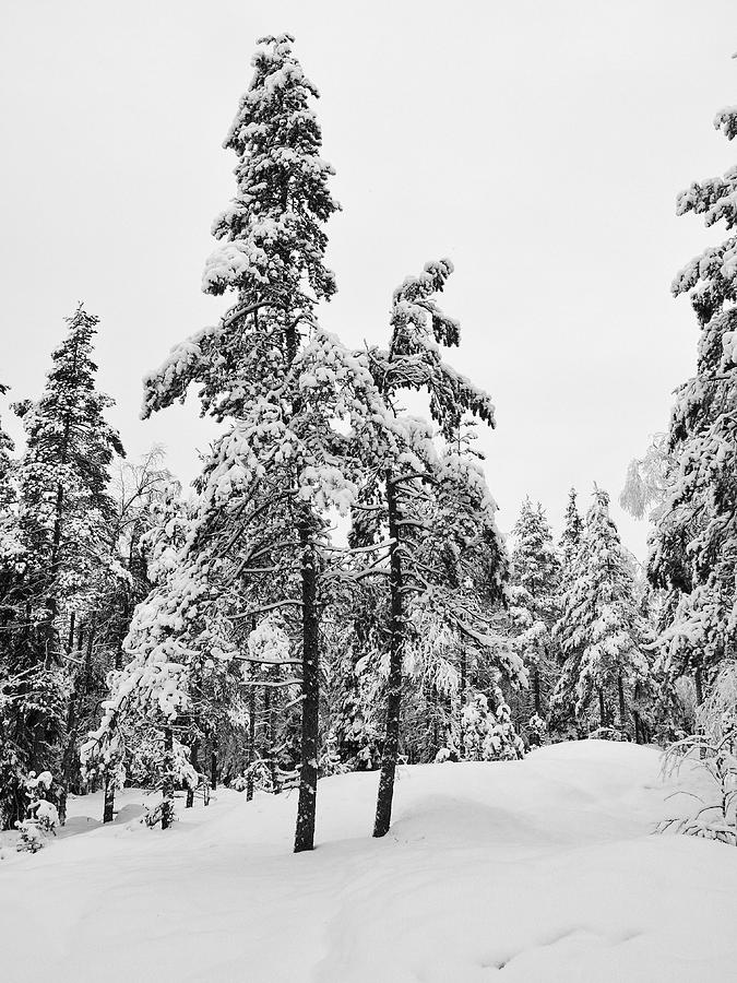 Finland Photograph - Pine Forest Winter by Jouko Lehto