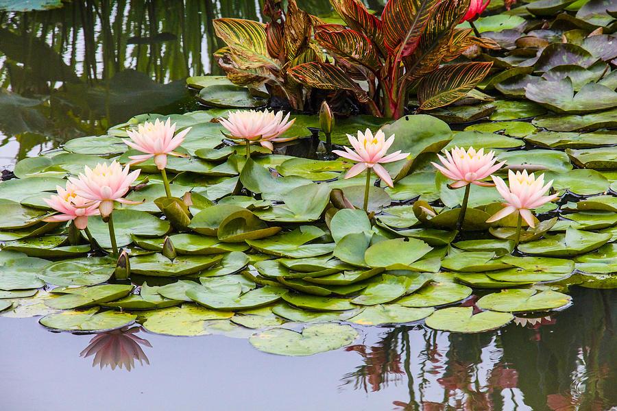 Waterlilies Photograph - 6 Pink Waterlilies by Jill Bell
