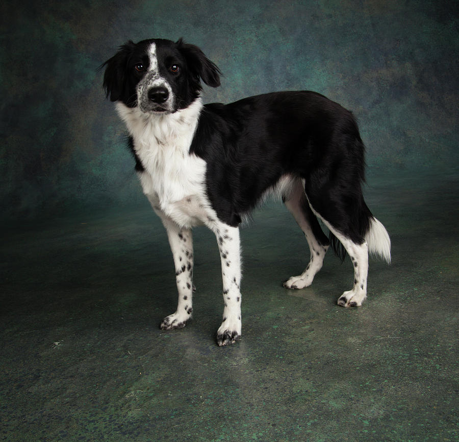 Genoeg Portrait Of A Border Collie Mix Dog Photograph by Animal Images @XN79