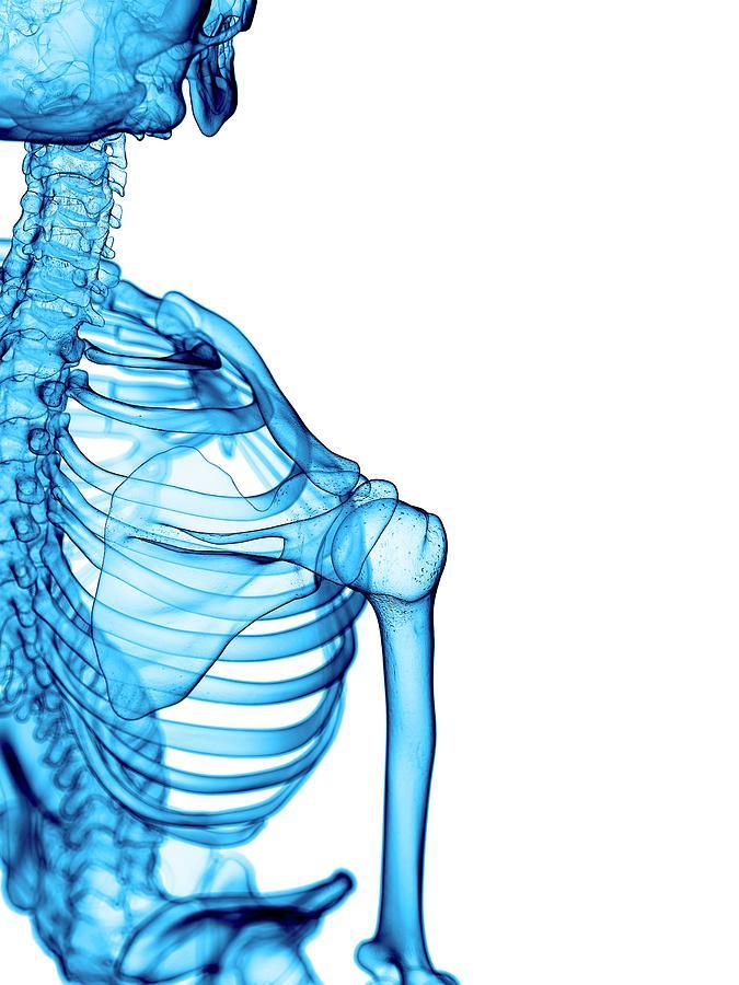 Artwork Photograph - Shoulder Bones by Sebastian Kaulitzki/science Photo Library