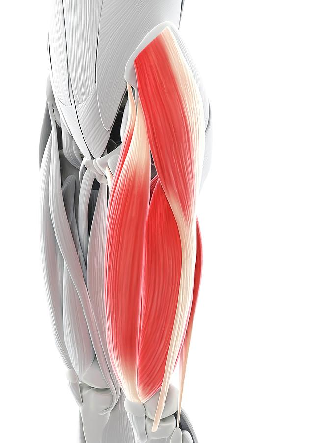 Artwork Photograph - Thigh Muscles by Sciepro/science Photo Library