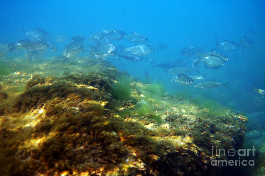 Water Photograph - White Bream. by Alexandr  Malyshev