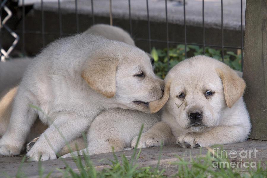 Animal Photograph - Yellow Labrador Retriever Puppies by Linda Freshwaters Arndt