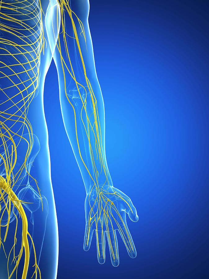 Artwork Photograph - Nervous System by Sciepro/science Photo Library