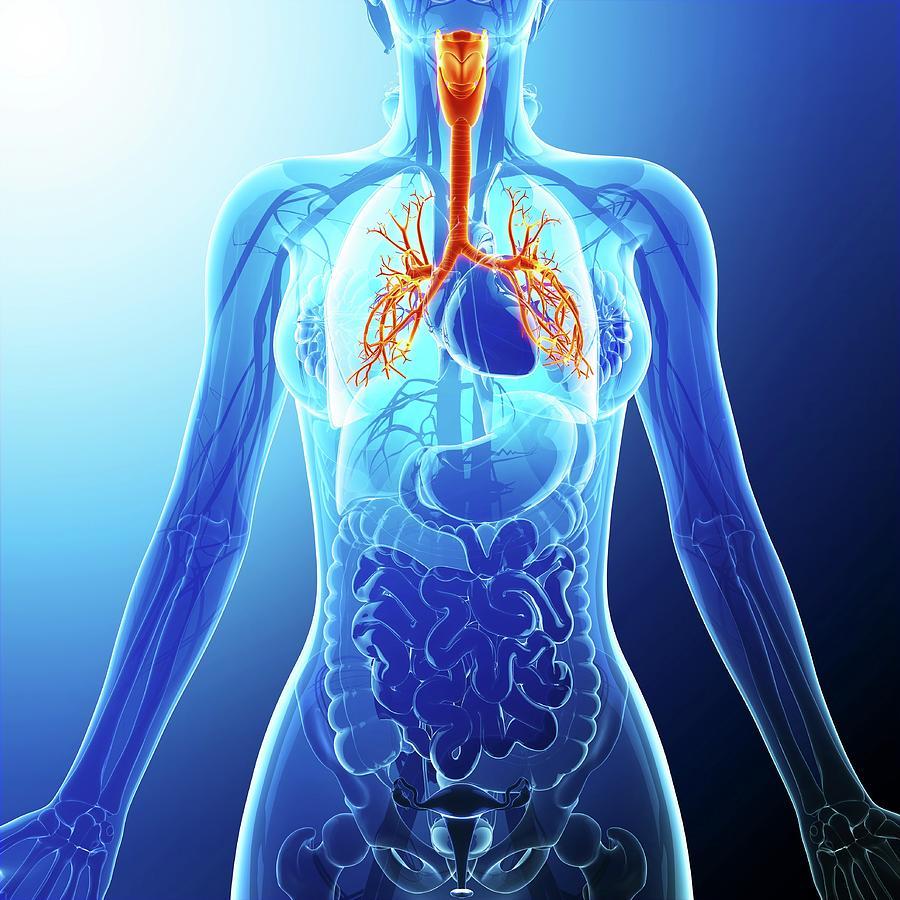 Artwork Photograph - Human Cardiovascular System by Pixologicstudio