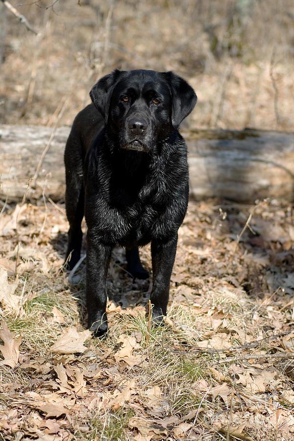 Black Lab Photograph - Black Labrador Retriever by Linda Freshwaters Arndt