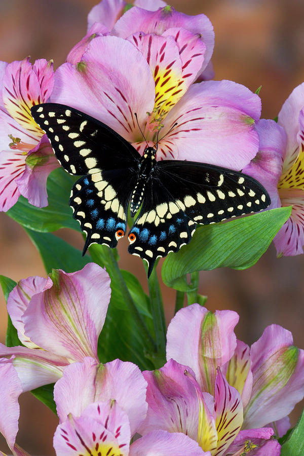 Band Photograph - Black Swallowtail Butterfly, Papilio by Darrell Gulin