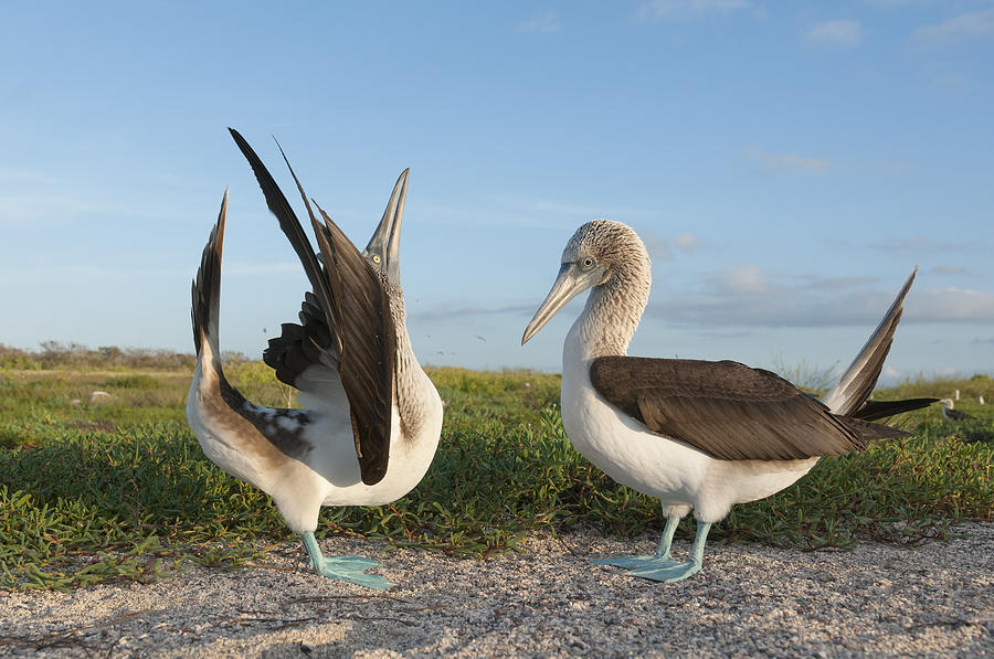 Blue-footed Booby Pair Courting Photograph by Tui De Roy