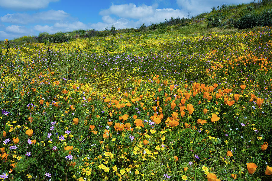 Horizontal Photograph - California Poppies Eschscholzia by Panoramic Images