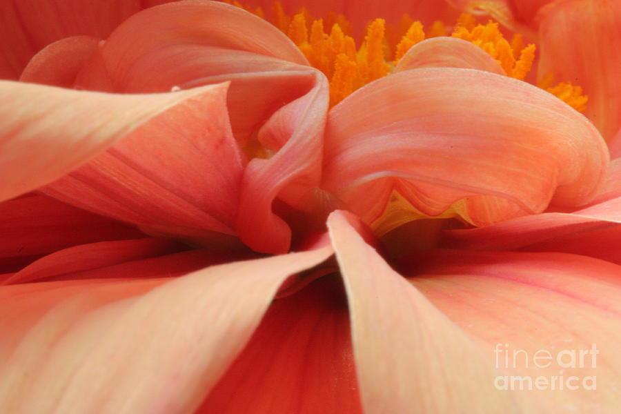 Dahlia Photograph - Dahlia by Rebeka Dove