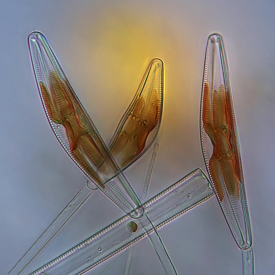 Alga Photograph - Diatoms, Light Micrograph by Science Photo Library