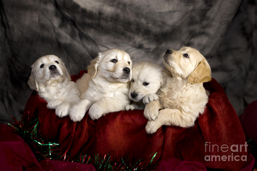 Dog Photograph - Festive Puppies by Angel  Tarantella